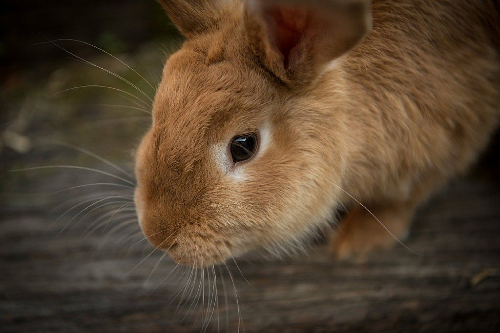 Planned Rabbit Calicivirus Release in March 2017